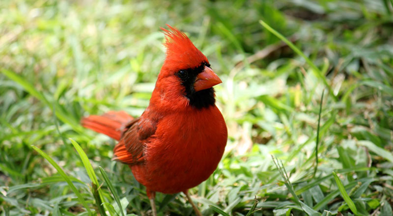Key West Golf Course red bird