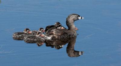 Key West Golf Course black duck