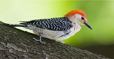 Key West Golf Course black and orange bird