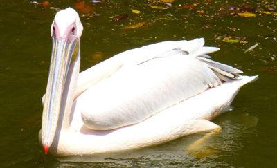 Key West Golf Course pelican