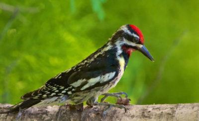 Key West Golf Course black & red bird