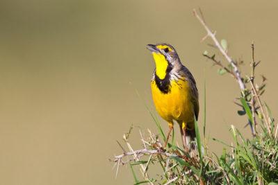 Key West Golf Course yellow bird
